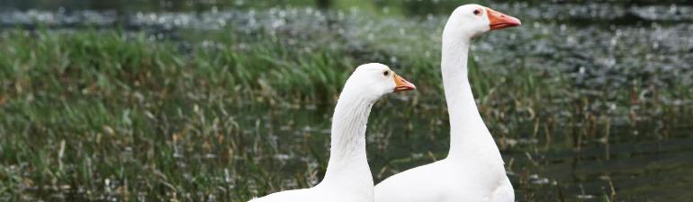 header-geese