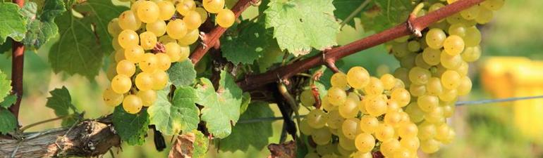 header-grapes